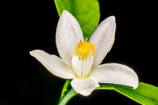 Fiori d'arancio: l'origine della tradizione dei fiori tipici del matrimonio