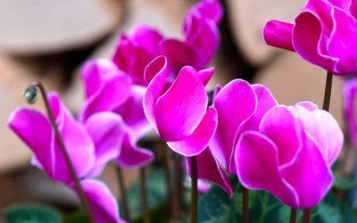 4 piante da regalare a Natale che si possono coltivare in balcone